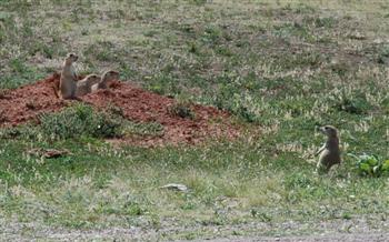 Prairie dogs at Wind Cave N.P.